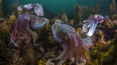 Giant Australian cuttlefish, Spencer Gulf, South Australia.