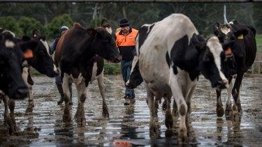 Rod Newton checking on the milking herd.