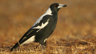 There are mixed results for sightings of the Australian magpie.