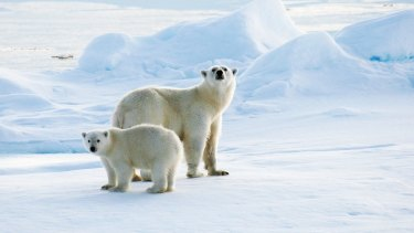 Polar bears will be severely and adversely affected by climate change, unless the trend is reversed.