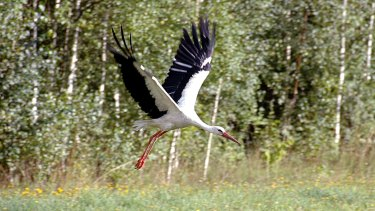 A stork flies over the grass in the Bialowieza Forest Park in eastern Poland, the best preserved relic of an ancient forest that once covered the lowlands of Europe and Russia.