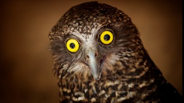 The powerful owl is among the species known to inhabit the Cooks River/Castlereagh Ironbark forests.