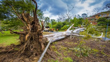 This  tree was uprooted during the storm in Toowong.
