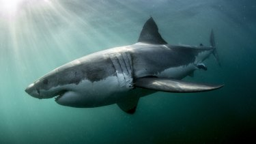 The new state government will not deploy drum lines to catch sharks.