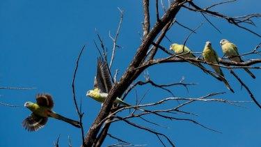Juvenile golden-shouldered parrots.