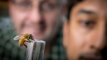 Researchers Adrian Dyer (left) with Mani Shrestha with a bee enjoying some sugar.