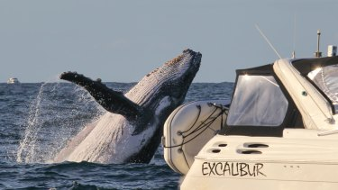 Sunday is the annual national humpback migration census day conducted by marine mammal rescue group ORCCA and hundreds of volunteers.
