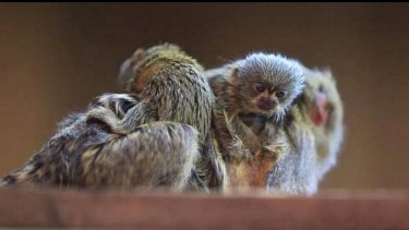 Two of the three missing pygmy marmosets have been found.