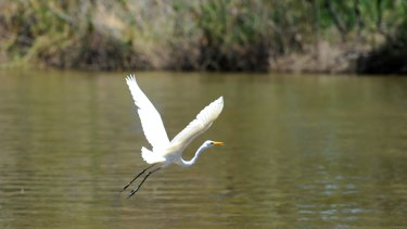 A great egret on the water in Barmah State Forest on the Murray River.