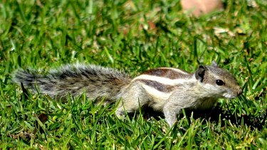 Keep an eye out for the northern palm squirrel - a feral pest.
