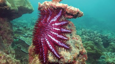 Crown-of-thorns starfish are a threat to many corals, including those on the Great Barrier Reef.