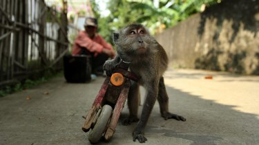 A performing monkey holds onto his wooden motorbike in the streets of Cikarang in West Java.