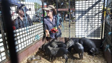 Jules Nixon from Baringup West treats John Wright's pigs to a few radishes at Talbot local market. A major benefit of the locavore movement is community engagement.