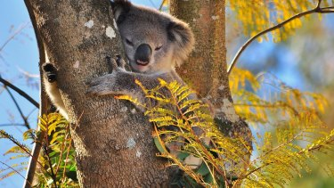 Koala in Bradbury on Sydney's south-western edge.