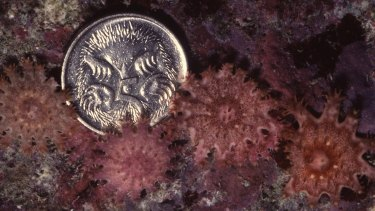 Juvenile crown of thorns starfish, with a coin to provide scale.
