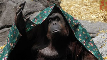 Shy: Sandra, an orangutan fighting for limited legal rights, in Buenos Aires Zoo in 2010.