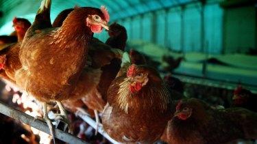 Chickens at a farm in Victoria