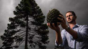 John Siemon, curator and manager of the Australian Botanic Garden, Mount Annan, with a 2.7-kilogram seed from a Araucaria bidwillii.