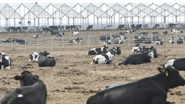 Cows seen at a dairy farm under construction in Dongying, Shandong Province, China.