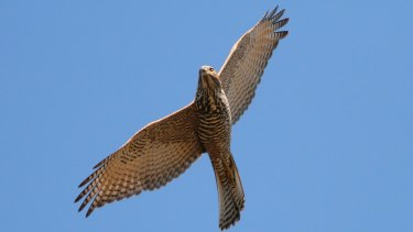 The traits of the Brown Goshawk align particularly well with the traits of the team trotting out onto the MCG this Saturday.