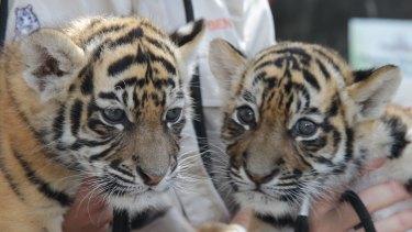 Tiger cub sisters Akasha and Adira.