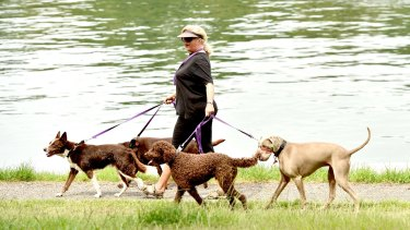 Lenore Lynch walking dogs at Mort Bay Park. Lenore is on hormone replacement therapy and walking dogs is part of her therapy.