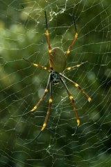A golden orb spider.