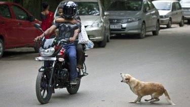 A stray dog barks at a motorcycle in Delhi.