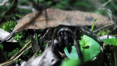 A female funnel web spider creeps out of its hole at night.