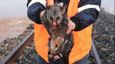 Paddles the possum needed saving in floodwaters near Ungarie, west of Forbes.