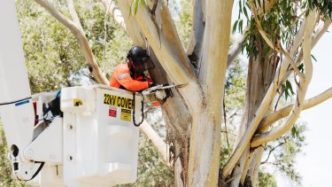 A contractor removing trees at Sydney Park to make way for WestConnex.