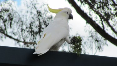 Right, then: An exceptional Sulphur-crested Cockatoo.