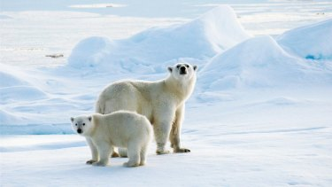 At risk: shrinking Arctic ice is bad news for polar bears - and the planet.