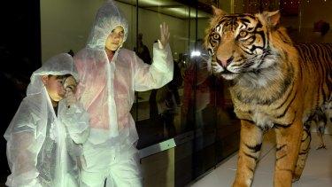 Will Farrar, aged nine, with Ellie Farrar, 12, examining a Sumatran Tiger.