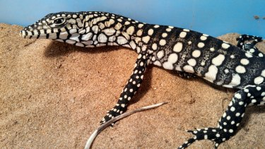 A perentie lizard, that has inspired Ausdrill's new name Parenti.