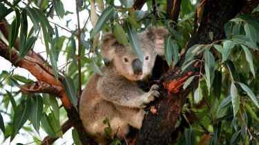A prime koala habitat near Port Stephens is up for grabs as the NSW government sheds 'surplus' lands.