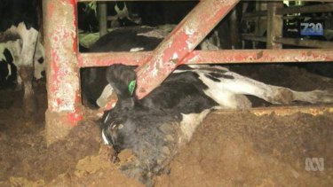 """""""I expect to see animals drenched in faecal matter,"""" Dr Lynn Simpson told the ABC."""