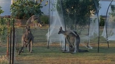 Graeme Fleming says damage to fences and vehicles caused by the kangaroos has run up a bill in excess of $11,000.