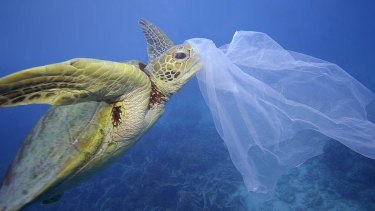 A sea turtle with a plastic bag on its nose in Cairns, Queensland. Eight million tonnes of plastic make their way into the ocean every year.