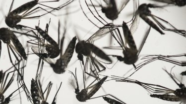 Samples of Aedes aegypti mosquitoes, responsible for transmitting dengue and Zika, sit in a petri dish.
