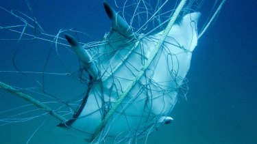 One of five rays caught this week in shark net at Seven Mile Beach off the north coast of NSW