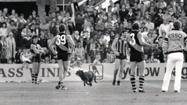 An omen? A black dog stops play between Hawthorn and Richmond during a match at Princes Park in 1986.