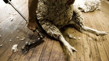 Since most shearers are paid by volume, they have an incentive to work as quickly as they can.