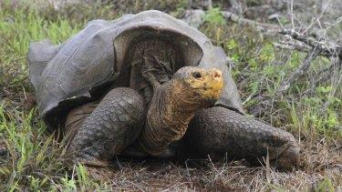 Saved: A giant tortoise on the Galapagos island of Espanola.