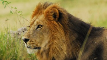 African lions give up the hunt if they think their prey has spotted them.