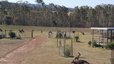 """Kangaroos show up on the Flemings' property in Heathcote in large numbers. """"There's always plenty around,"""" Wendy Fleming says."""