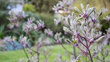 Landscape Lilac from <i>The Australian Native Garden</i>.