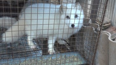 A fox is confined to a wire cage for the whole of its short life at a fur farm.