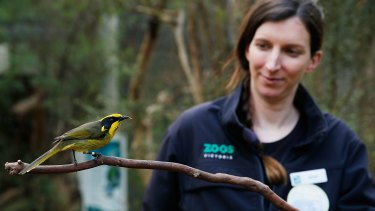 A Helmeted Honey Eater at Healsville Sanctuary being fed by keeper Sarah Carter.