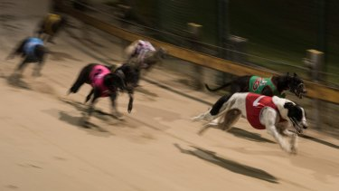 Greyhound Racing New South Wales has commissioned research to design tracks to minimise injuries to the dogs.